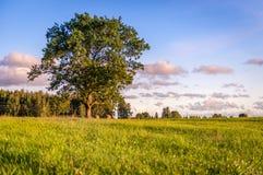 Δρύινο δέντρο στη Λετονία αμέσως πριν από το ηλιοβασίλεμα στοκ εικόνες
