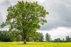 Δρύινο δέντρο στη Λετονία στοκ φωτογραφία με δικαίωμα ελεύθερης χρήσης