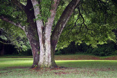 Δρύινο δέντρο στον ήλιο απογεύματος Στοκ εικόνα με δικαίωμα ελεύθερης χρήσης