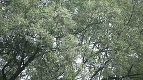 Δρύινο δέντρο στους gusty ανέμους απόθεμα βίντεο