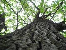 Δρύινο δέντρο στο δάσος Στοκ Εικόνες
