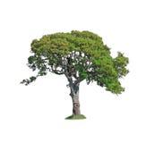 Δρύινο δέντρο στο λευκό στοκ φωτογραφίες