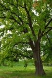 Δρύινο δέντρο στο πάρκο Στοκ Εικόνες