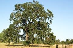 Δρύινο δέντρο το καλοκαίρι Στοκ φωτογραφία με δικαίωμα ελεύθερης χρήσης