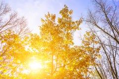 Δρύινο δέντρο φθινοπώρου με τα κίτρινα φύλλα Στοκ φωτογραφία με δικαίωμα ελεύθερης χρήσης