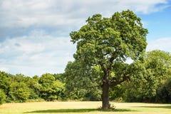 Δρύινο δέντρο Στοκ Εικόνες