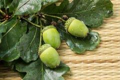 Δρύινο βελανίδι με τα πράσινα φύλλα Στοκ φωτογραφίες με δικαίωμα ελεύθερης χρήσης