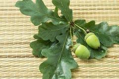 Δρύινο βελανίδι με τα πράσινα φύλλα Στοκ Εικόνα
