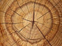 δρύινο δέντρο αποκοπών Στοκ Εικόνα