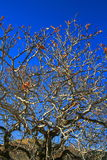 δρύινο δέντρο κλάδων Στοκ Φωτογραφία