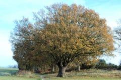 δρύινο δέντρο παγετού φθιν Στοκ Φωτογραφίες