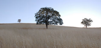 δρύινο δέντρο πανοράματος Στοκ φωτογραφία με δικαίωμα ελεύθερης χρήσης