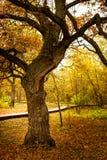 Δρύινο δέντρο σε ένα πάρκο φθινοπώρου Στοκ Φωτογραφίες