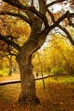 Δρύινο δέντρο σε ένα πάρκο φθινοπώρου Στοκ εικόνες με δικαίωμα ελεύθερης χρήσης