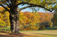 Δρύινο δέντρο το φθινόπωρο Στοκ φωτογραφία με δικαίωμα ελεύθερης χρήσης