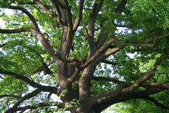 δρύινο δέντρο στοκ φωτογραφίες
