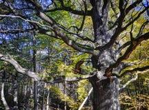 Δρύινο δέντρο Alku στοκ εικόνα με δικαίωμα ελεύθερης χρήσης