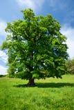 δρύινο ενιαίο δέντρο στοκ φωτογραφία