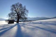 δρύινο ενιαίο δέντρο Στοκ εικόνες με δικαίωμα ελεύθερης χρήσης