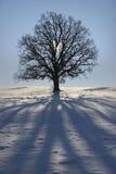 δρύινο ενιαίο δέντρο Στοκ Φωτογραφίες