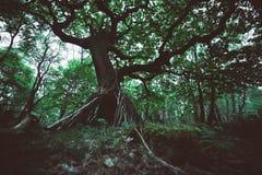 Δρύινο κρησφύγετο δέντρων Στοκ Φωτογραφία