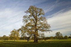 δρύινο παλαιό δέντρο φθινο Στοκ φωτογραφία με δικαίωμα ελεύθερης χρήσης