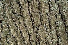 Δρύινο υπόβαθρο σύστασης φλοιών Στοκ Εικόνα