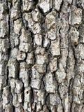 Δρύινο υπόβαθρο της βόρειας Καρολίνας σύστασης φλοιών δέντρων Στοκ Εικόνα