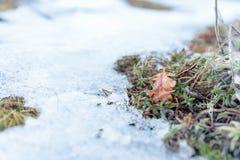 Δρύινο φύλλο στο χιόνι με το βρύο Στοκ φωτογραφία με δικαίωμα ελεύθερης χρήσης