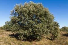Δρύινο (Quercus ilex) δέντρο ακροποταμιών Στοκ Εικόνα