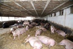 Δυνατοί έγκυοι θηλυκοί χοίροι χοίρων που βάζουν στη σιταποθήκη Στοκ εικόνα με δικαίωμα ελεύθερης χρήσης