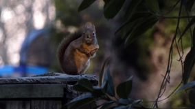Δυνατός και ενοχλητικός σκίουρος απόθεμα βίντεο