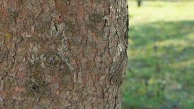 Δυνατός κορμός του δέντρου πεύκων στο πάρκο απόθεμα βίντεο