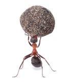 Μυρμήγκι που κρατά τη βαριά πέτρα Στοκ Φωτογραφίες