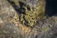 Δυσάρεστος βάτραχος στη λίμνη στοκ εικόνες