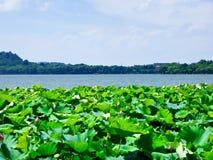 Δυτική λίμνη των λουλουδιών λωτού Hangzhou Στοκ φωτογραφία με δικαίωμα ελεύθερης χρήσης