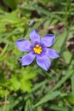 Δυτική μπλε Eyed χλόη Στοκ φωτογραφία με δικαίωμα ελεύθερης χρήσης
