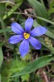 Δυτική μπλε Eyed χλόη Στοκ εικόνες με δικαίωμα ελεύθερης χρήσης