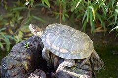 Δυτική χελώνα λιμνών (marmorata Actinemys ή marmorata Emys) στοκ εικόνα με δικαίωμα ελεύθερης χρήσης