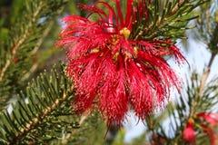 Δυτικό αυστραλιανό wildflower Pindak - κλάδοι που μοιάζουν με το έλατο αλλά με τα κόκκινα λουλούδια Στοκ Φωτογραφίες