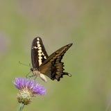 Δυτικό γιγαντιαίο Swallowtail στον κάρδο Στοκ εικόνες με δικαίωμα ελεύθερης χρήσης
