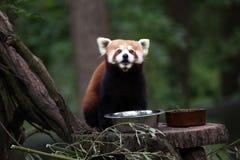 Δυτικό κόκκινο panda Ailurus fulgens fulgens Στοκ Εικόνα