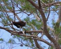 Δυτικό Osprey στο δέντρο πεύκων Στοκ φωτογραφίες με δικαίωμα ελεύθερης χρήσης