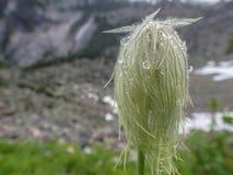 Δυτικό Pasque Anemone λουλούδι Occidentalis Στοκ Φωτογραφίες
