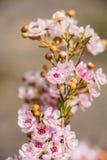Δυτικών Αυστραλιών εγγενές λουλούδι φτερών wildflower μακρο ρόδινο Στοκ Εικόνες