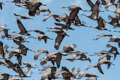 Δωδεκάδες των γερανών sandhill κατά την πτήση στο σούρουπο Στοκ Εικόνες