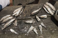 Δόλωμα περικοπών Mullett δάχτυλων έτοιμο να αλιεύσει Στοκ Εικόνα