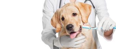 Δόντια σκυλιών ` s βουρτσίσματος γιατρών, άποψη κινηματογραφήσεων σε πρώτο πλάνο στοκ φωτογραφία με δικαίωμα ελεύθερης χρήσης