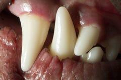 Δόντια σκυλιών Στοκ Εικόνα