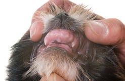 Δόντια του tzu κουταβιών shih Στοκ εικόνα με δικαίωμα ελεύθερης χρήσης